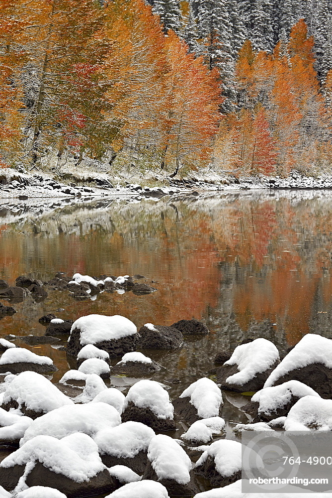 Orange aspens in the fall with snow at a lake, Grand Mesa National Forest, Colorado, United States of America, North America