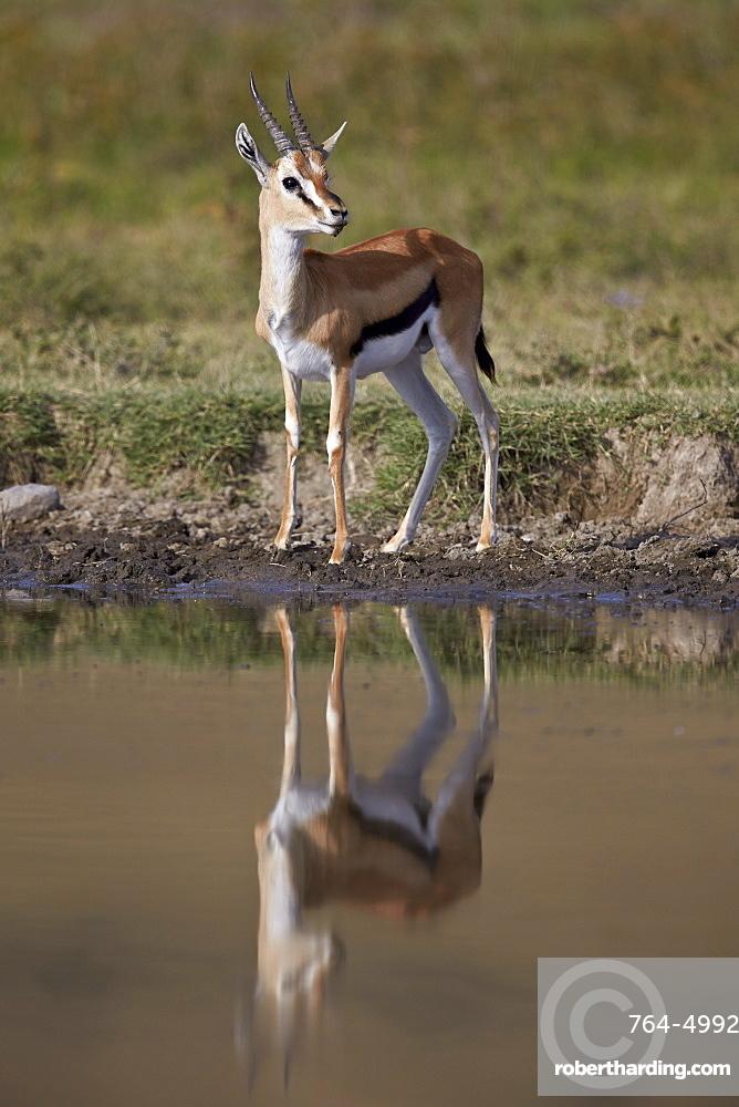 Thomson's gazelle (Gazella thomsonii) buck with reflection, Ngorongoro Crater, Tanzania, East Africa, Africa