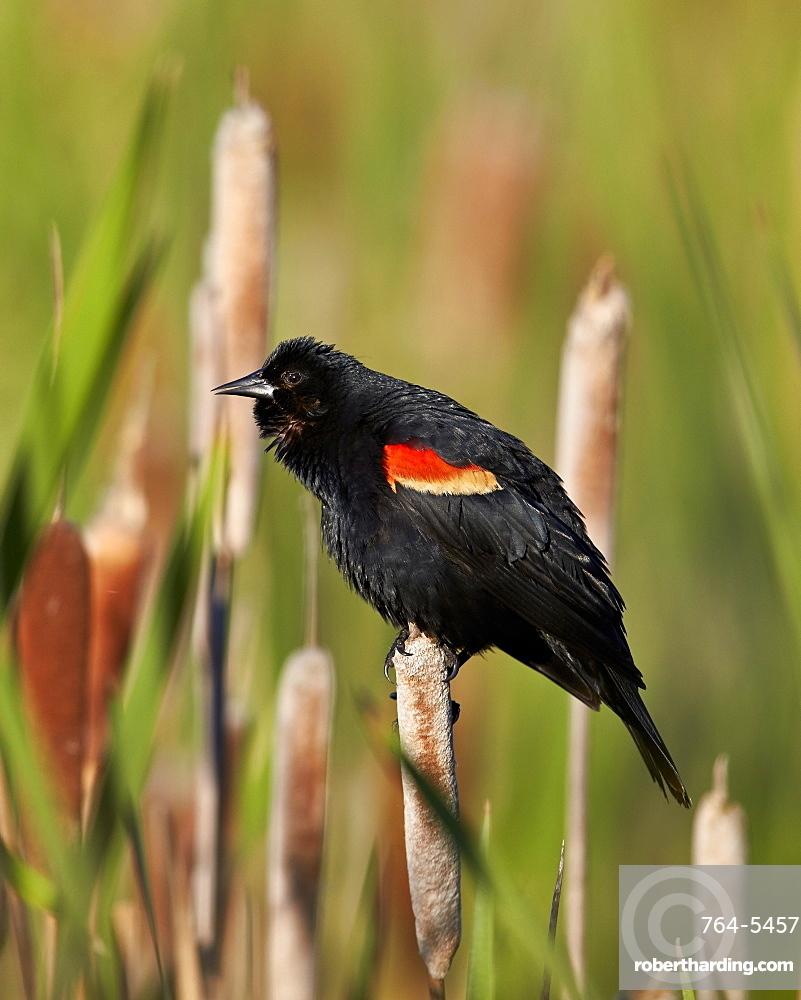 Red-winged blackbird (Agelaius phoeniceus), male, Lac Le Jeune Provincial Park, British Columbia, Canada, North America