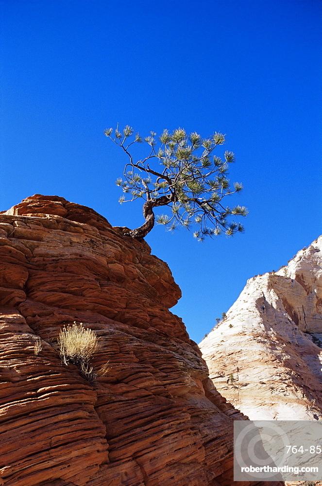 Lone pine, Zion National Park, Utah, United States of America, North America
