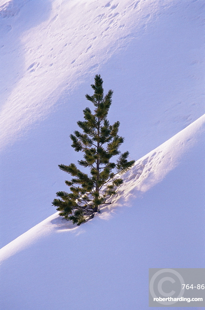 Pine tree in snow, Bryce Canyon National Park, Utah, United States of America, North America