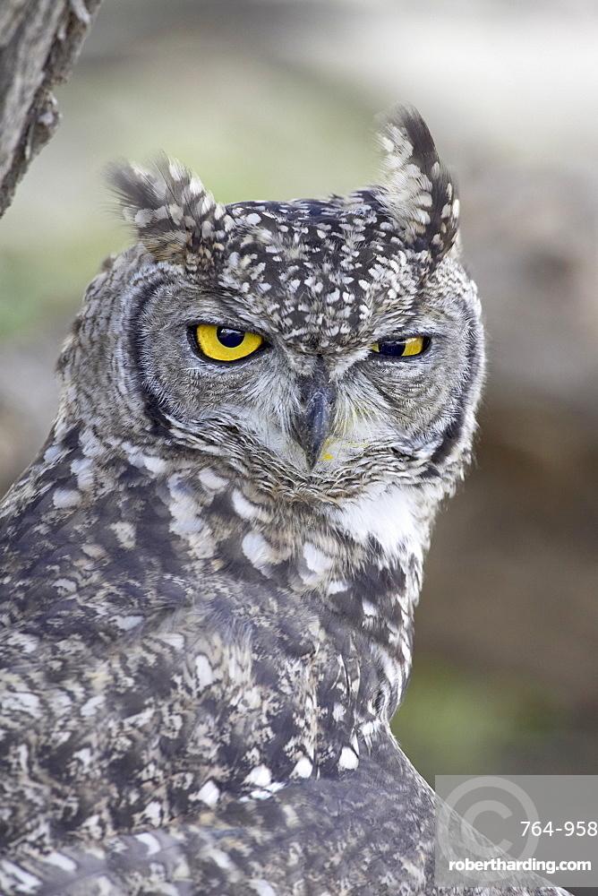 Spotted eagle owl (Bubo africanus), Kgalagadi Transfrontier Park, encompassing the former Kalahari Gemsbok National Park, South Africa, Africa