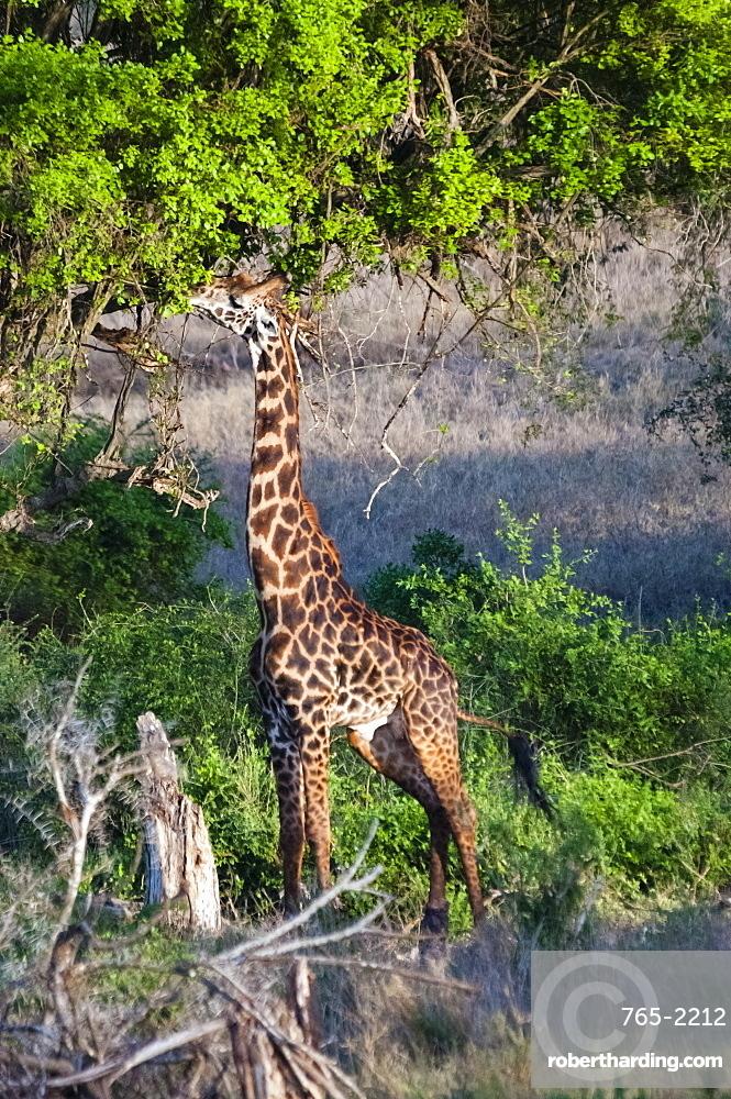 Male of Maasai giraffe (Giraffa camelopardalis tippelskirchii), Taita Hills Wildlife Sanctuary, Kenya, East Africa