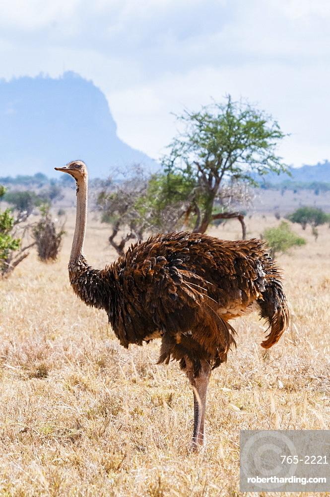 Female Common Ostrich Female (Struthio camelus), Taita Hills Wildlife Sanctuary, Kenya, East Africa