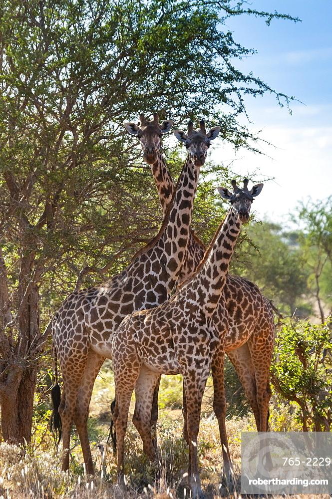Maasai giraffes (Giraffa tippelskirchi), Tsavo East National Park, Kenya, East Africa
