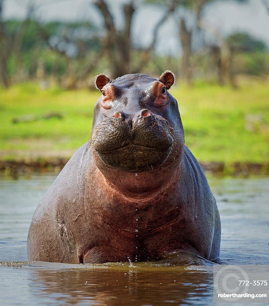 Hippopotamus, Okavango Delta, Botswana, Africacurves adjustments, medium vignette