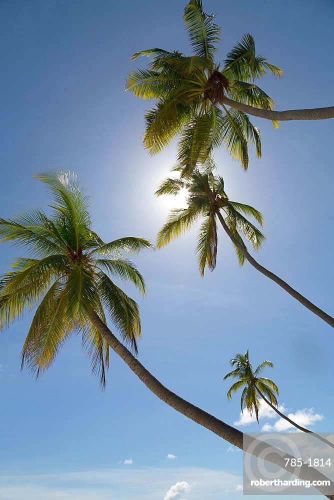 Tall palm trees silhouetted against the sun on an island in the Maldives, Indian Ocean, Asia