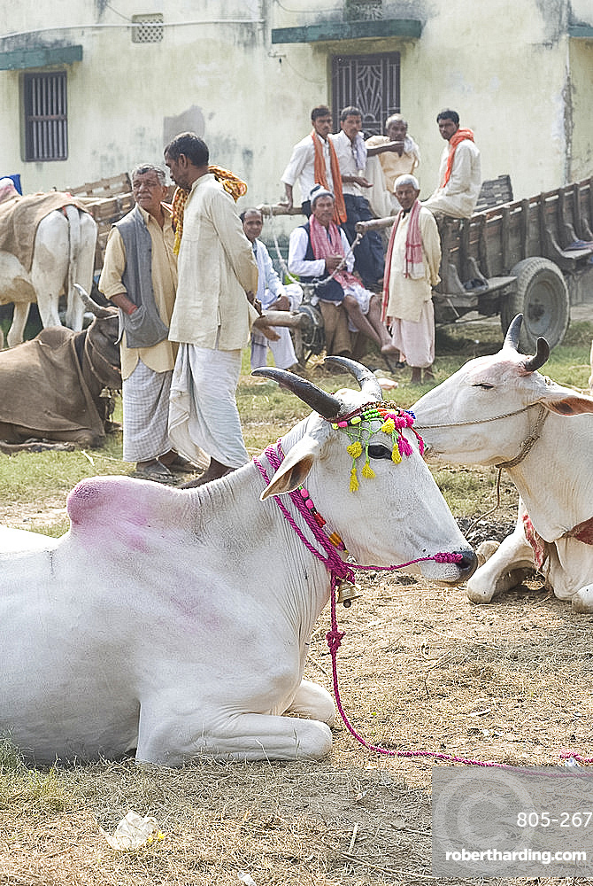 White cows, decorated for sale at the annual Sonepur Cattle Fair near Patna, Bihar, India, Asia