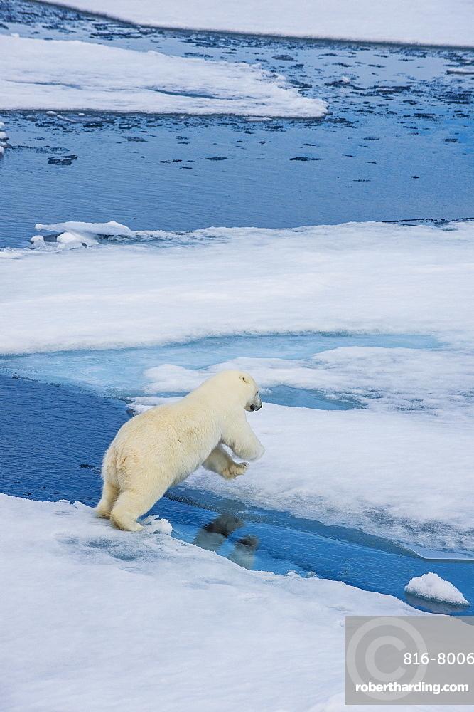 Polar bear (Ursus maritimus) on a ice floe in the Arctic shelf, Svalbard, Arctic