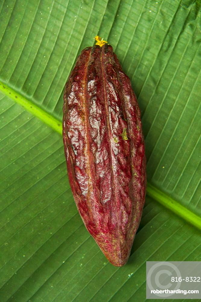 The cocoa bean (cacao bean) (Theobroma cacao), Plantation Roca Monte Cafe, Sao Tome, Sao Tome and Principe, Atlantic Ocean, Africa