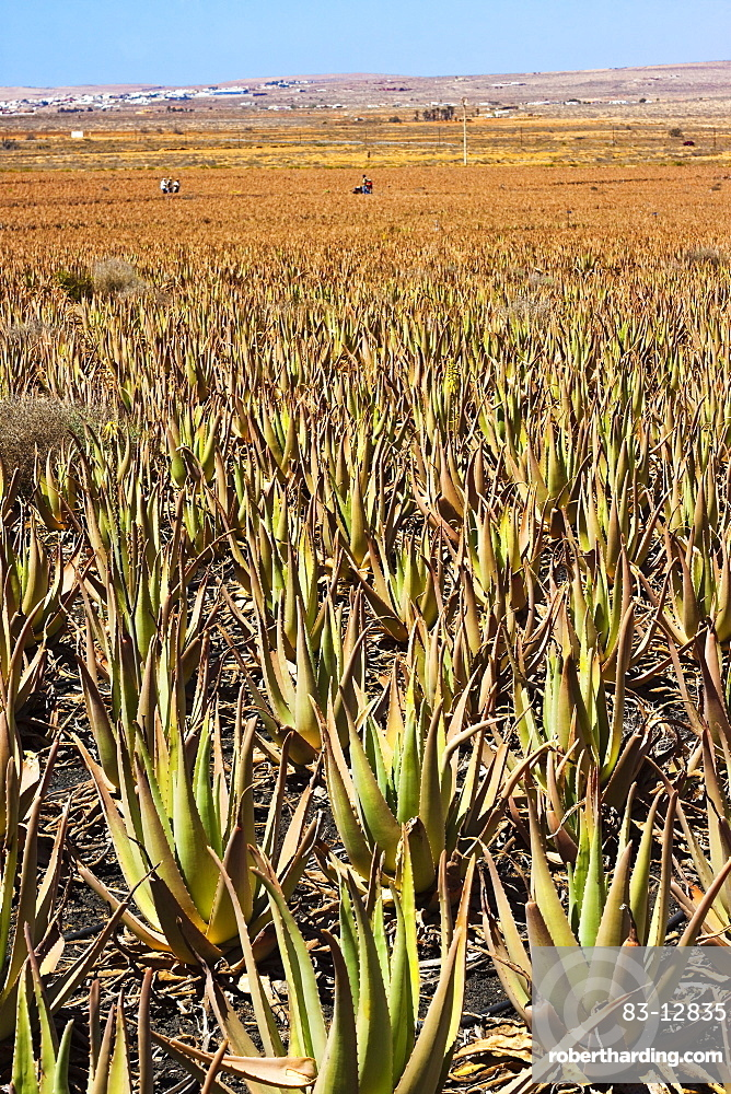 Aloe Vera plants at Savimax finca and factory, known for its tours and shop, Valles de Ortega, Fuerteventura, Canary Islands, Spain, Europe