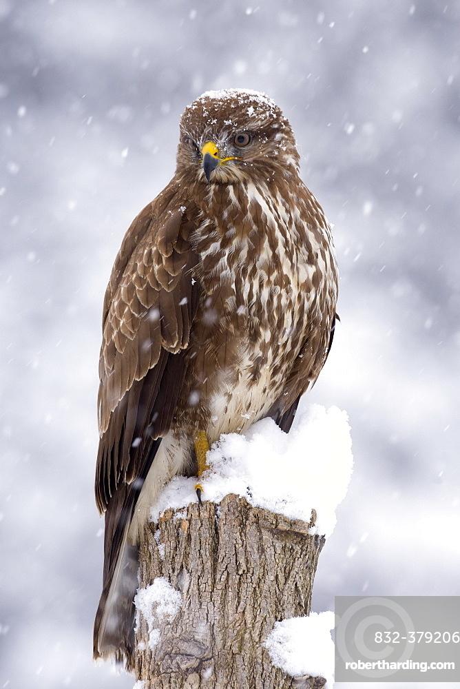 Buzzard (Buteo buteo) in the snow, Tyrol, Austria, Europe