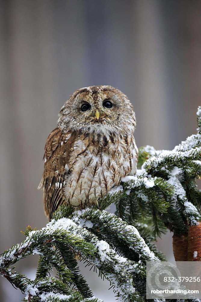 Tawny owl (Strix aluco), adult in winter on lookout, Zdarske Vrchy, Bohemian-Moravian Highlands, Czech Republic, Europe