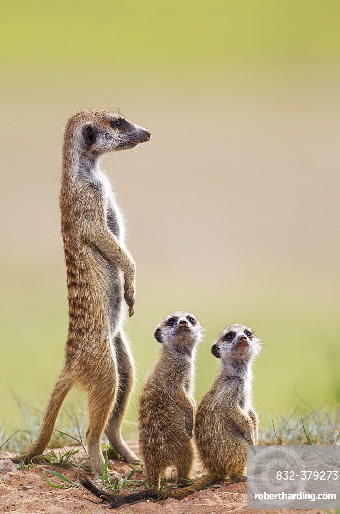 Suricates (Suricata suricatta), adult with two young on the lookout, during the rainy season in green surroundings, Kalahari Desert, Kgalagadi Transfrontier Park, South Africa, Africa