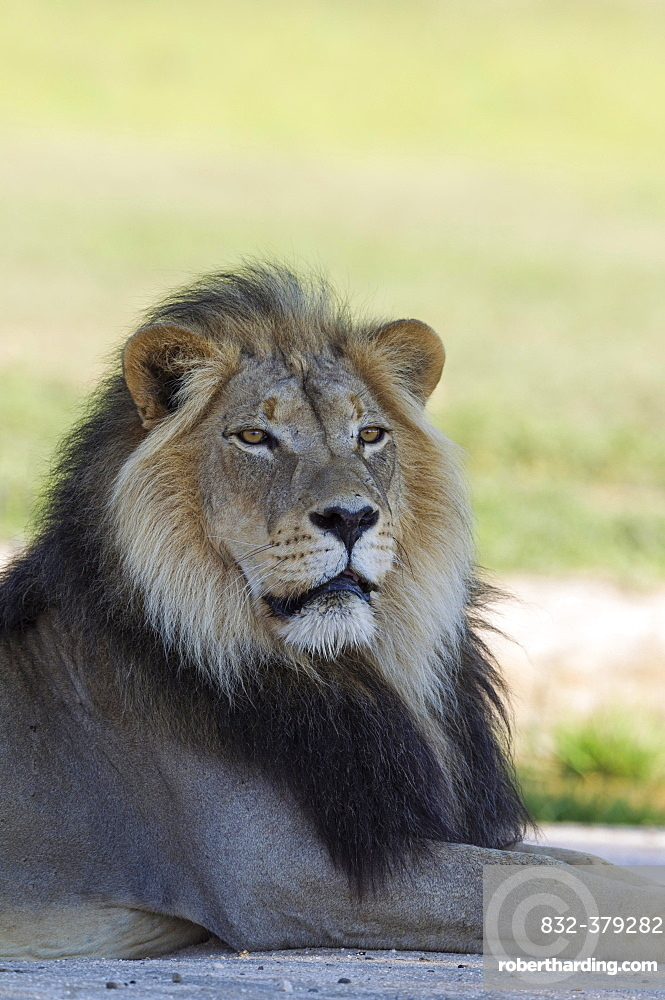 Lion (Panthera leo), black-maned Kalahari male, resting, rainy season with green surroundings, portrait, Kalahari Desert, Kgalagadi Transfrontier Park, South Africa, Africa