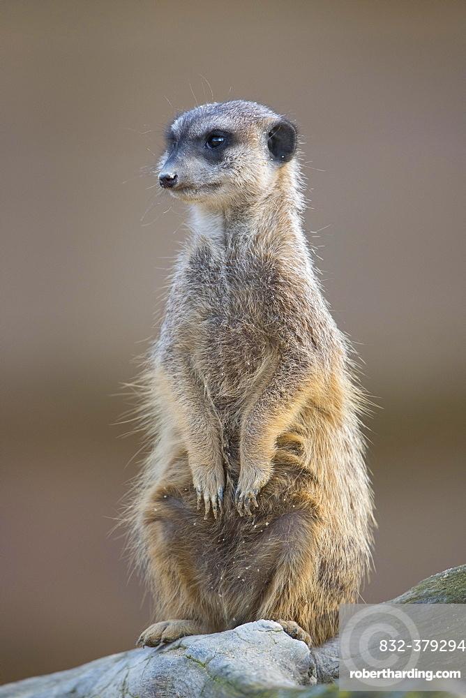 Meerkat (Suricata suricatta), young, captive