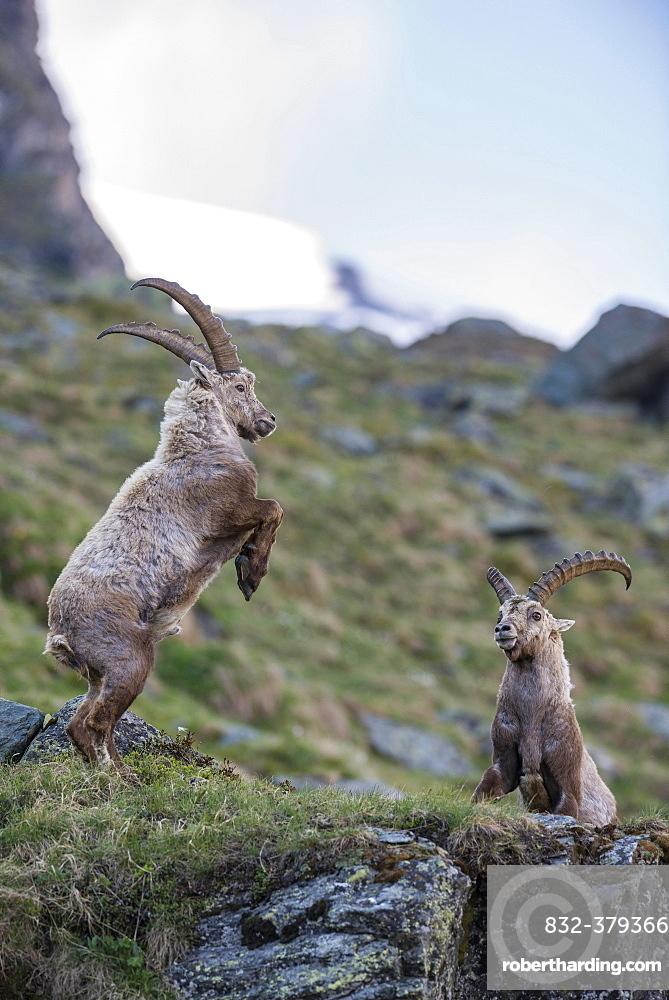Alpine ibex (Capra ibex), also steinbock or Ibex, fighting for rank, High Tauern National Park, Carinthia, Austria, Europe