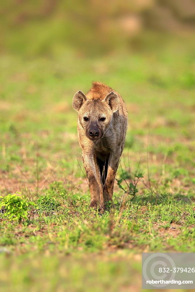 Spotted hyena (Crocuta crocuta), adult, stalking, frontal, Kruger National Park, South Africa, Africa