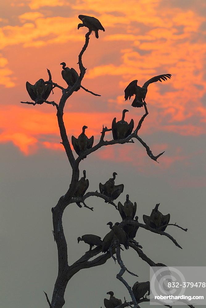 White-backed Vulture (Gyps africanus), at sunset on their resting tree, Chobe National Park, Botswana, Africa