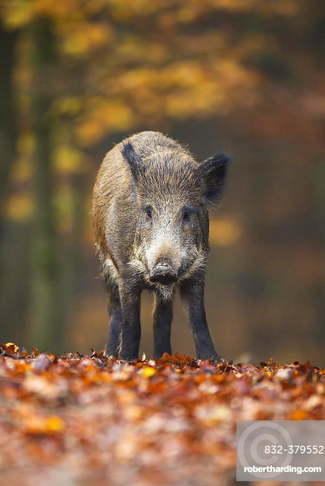 Wild Boar (Sus scrofa), Vulkaneifel, Eifel, Rhineland-Palatinate, Germany, Europe