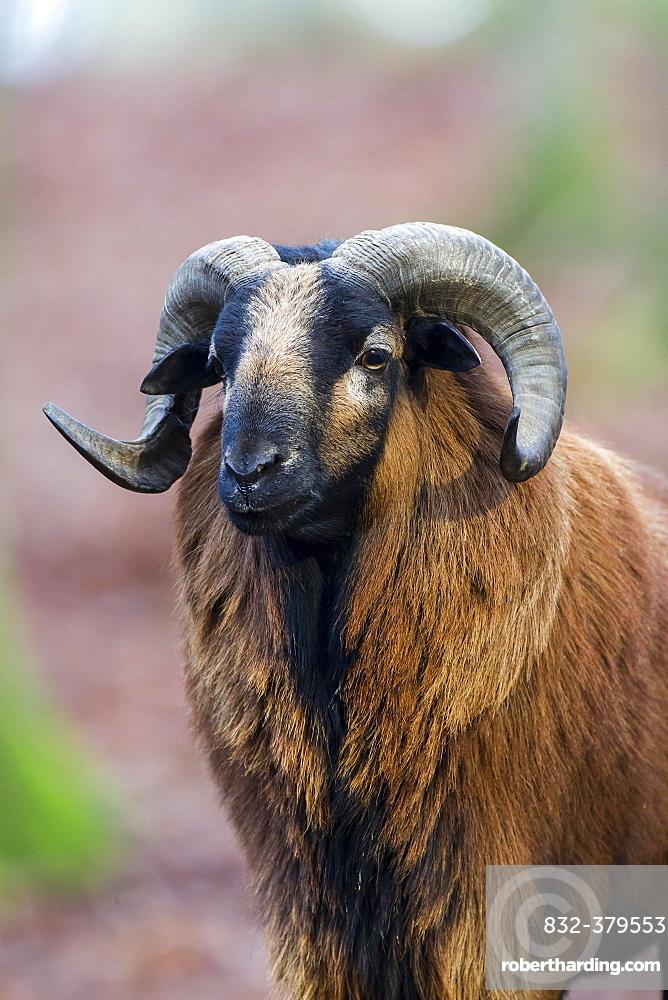 European Mouflon (Ovis orientalis), Vulkaneifel, Eifel, Rhineland-Palatinate, Germany, Europe