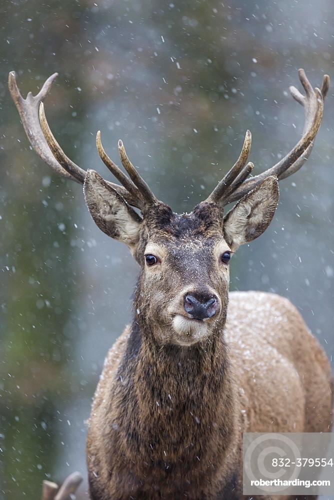 Red Deer (Cervus elaphus), Vulkaneifel, Rhineland-Palatinate, Germany, Europe
