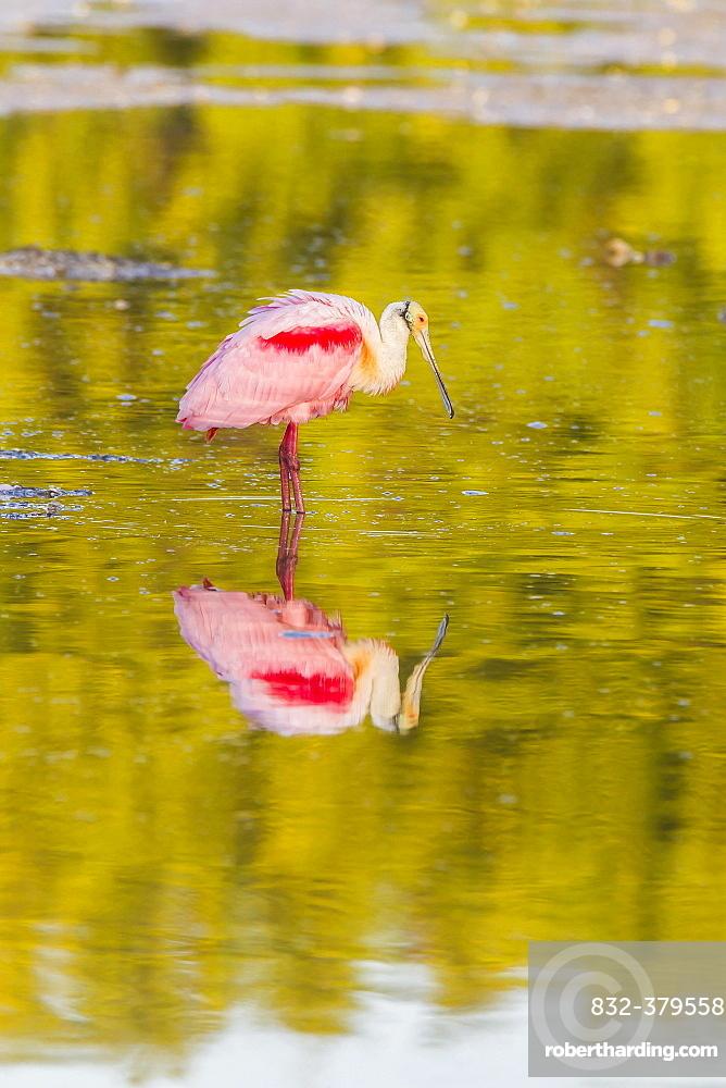 Roseate spoonbill (Ajaia ajaja), reflection in water, Ding Darling National Wildlife Refuge, Sanibel Island, Florida, USA, North America