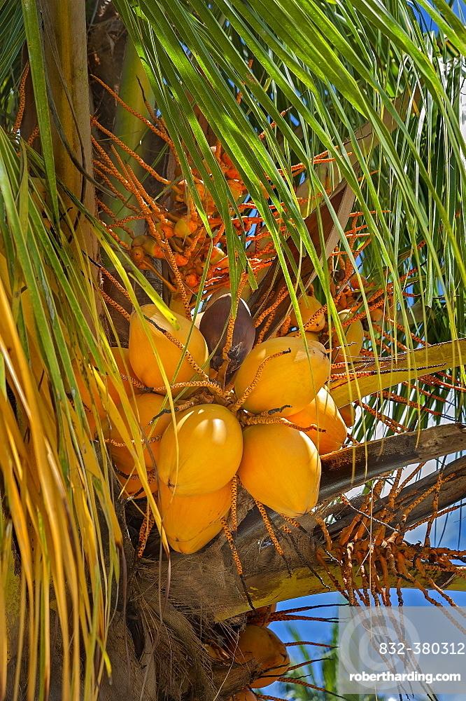 Coconut tree (Cocos nucifera) with fruits, village Yenbuba, Mansuar, Raja-Ampat, Western New Guinea, Indonesia, Asia