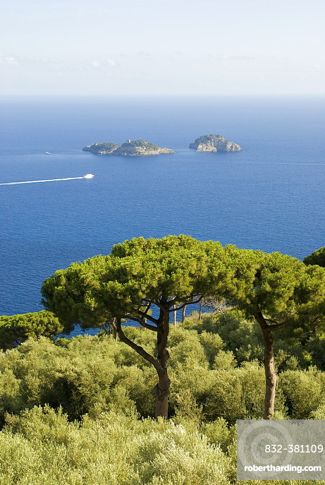 Pines growing along the Amalfi coastline, Campania, Italy, Europe
