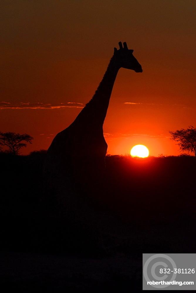 Giraffe (Giraffa camelopardalis) in the sunset, Hardap Region, Namibia, Africa