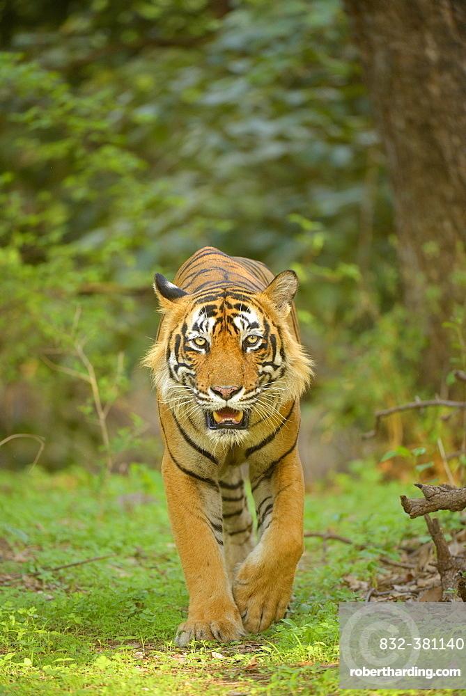 Bengal Tiger (Panthera tigris tigris) walking in the forest, Ranthambhore National Park, Sawai Madhopur, India, Asia