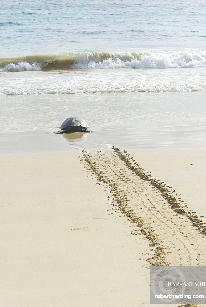 Green Sea Turtle or Pacific Green Turtle (Chelonia mydas japonica) on the way to the sea, Floreana, Galápagos Islands, Ecuador, South America