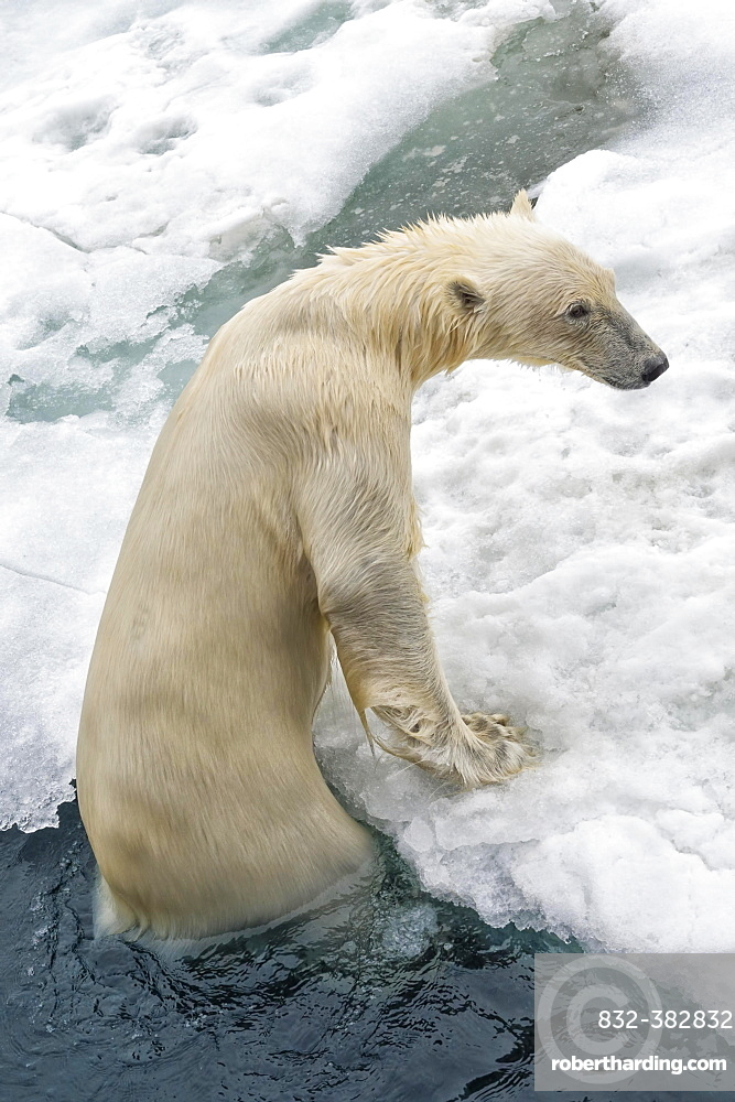 Polar Bear (Ursus maritimus) getting out of water, Svalbard Archipelago, Norway, Europe