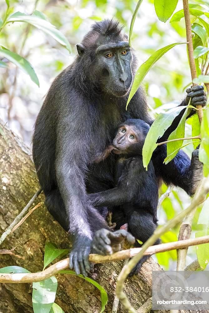 Celebes Crested Macaque (Macaca nigra), dam suckling young animal, Tangkoko National Park, Sulawesi, Indonesia, Asia