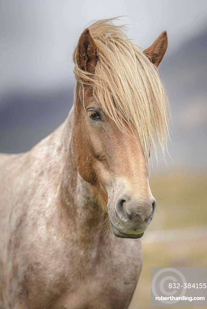 Icelandic horse (Equus islandicus) with bright mane, animal portrait, Norourland vestra, Iceland, Europe
