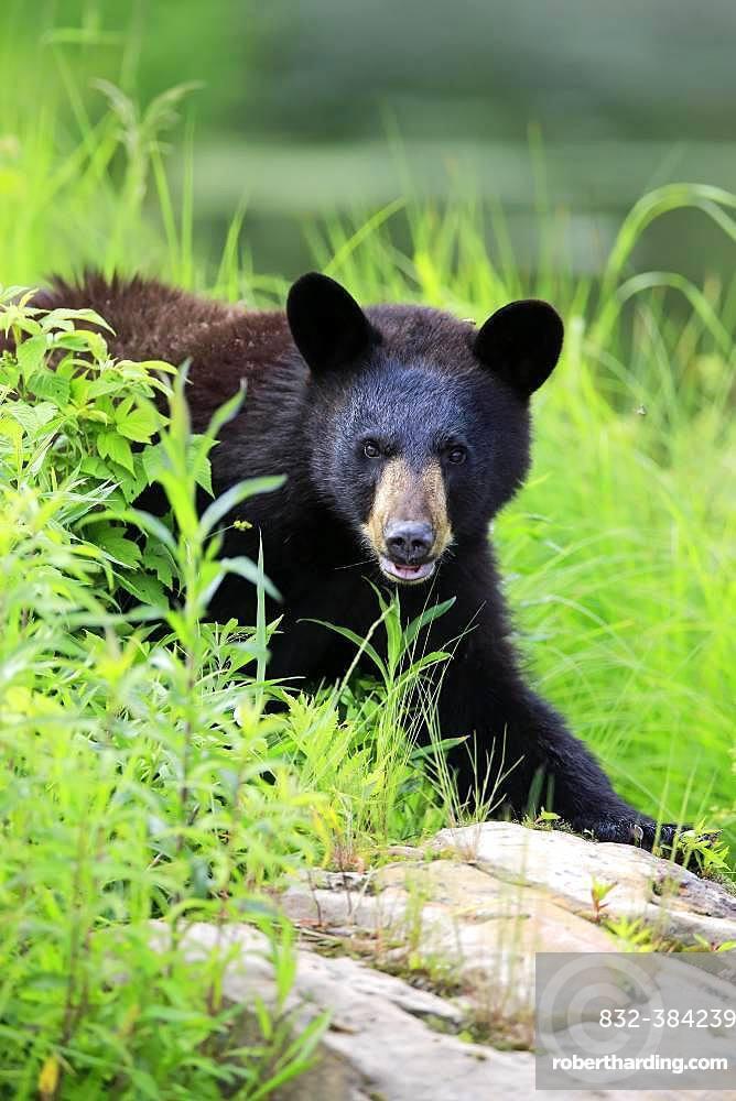 American Black Bear (Ursus americanus), young animal, animal portrait, vigilant, Pine County, Minnesota, USA, North America