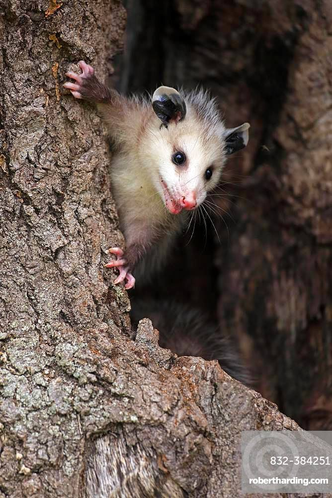 Virginia Opossum (Didelphis virginiana), young animal curiously climbs the tree trunk, animal portrait, Pine County, Minnesota, USA, North America