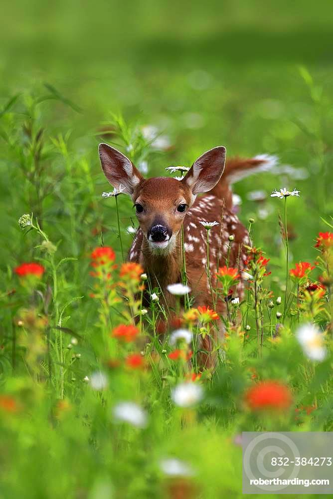 White-tailed deer (Odocoileus virginianus), young animal, ten days, standing in flower meadow, Pine County, Minnesota, USA, North America