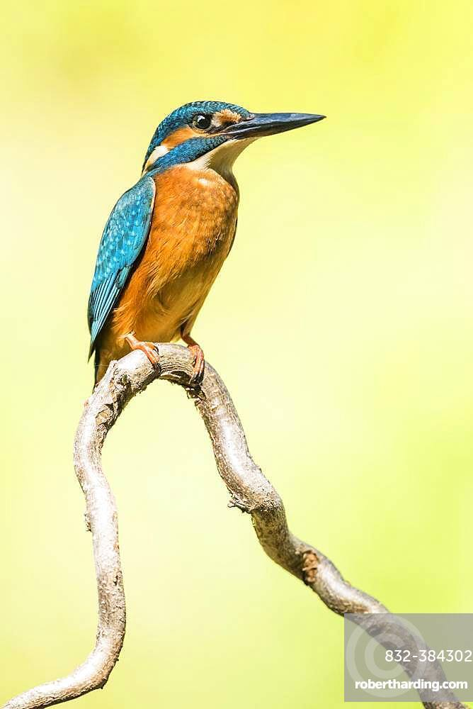 Kingfisher (Alcedo atthis) sitting on a branch, Lower Austria, Austria, Europe
