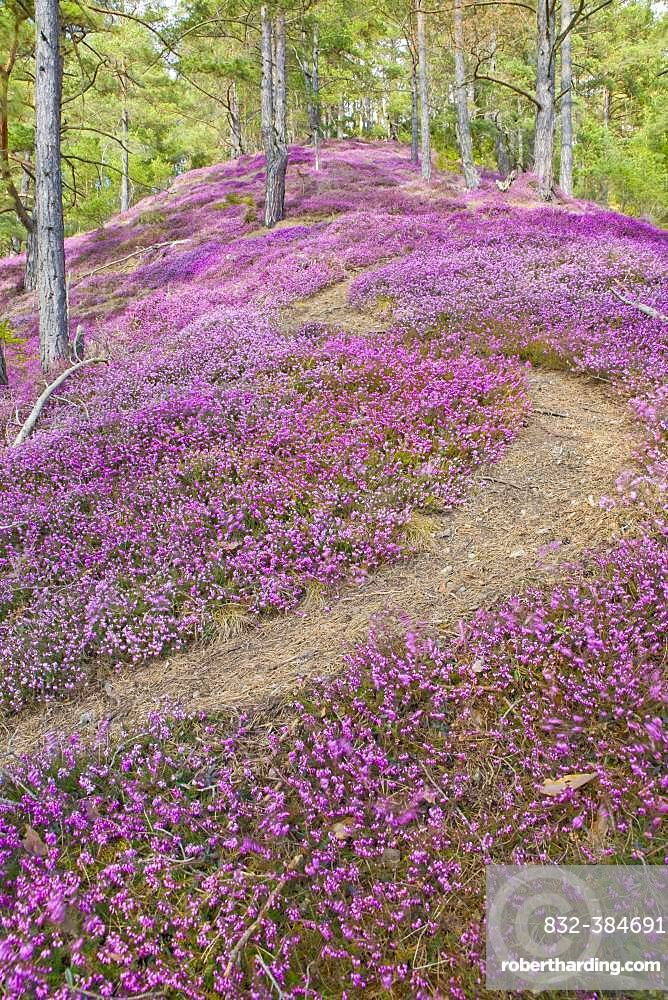 Hiking trail through a sea of flowers with flowering purple Heather (Calluna vulgaris) in the pine forest, Styria, Austria, Europe