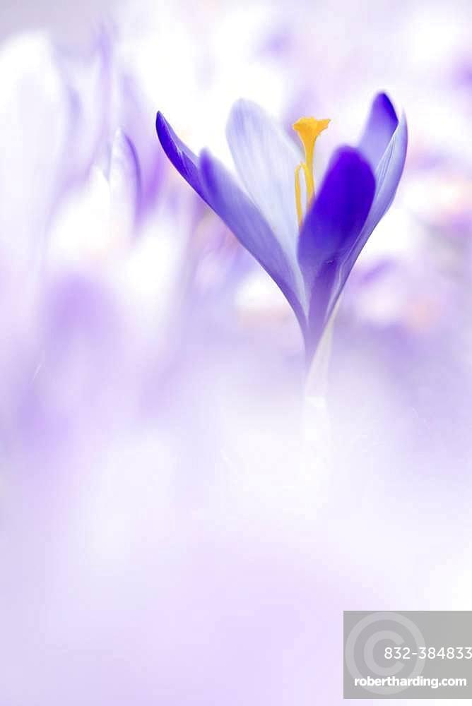 Flower meadow with purple woodland crocus (Crocus tommasinianus), Lower Austria, Austria, Europe
