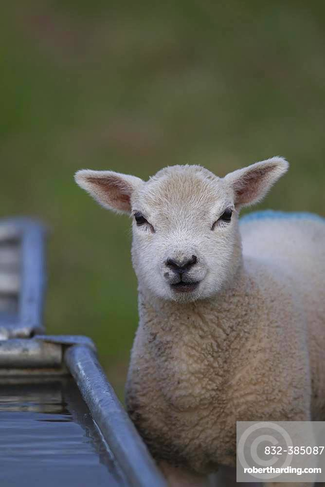 Domestic lamb (Ovis aries) standing by a drinking trough, Suffolk, England, United Kingdom, Europe