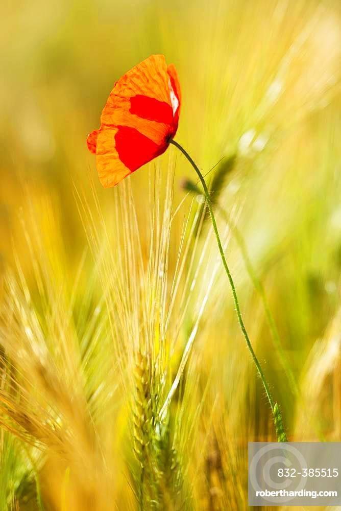 Single red Poppy flower (Papaver) flowers in the barley field, Saxony-Anhalt, Germany, Europe