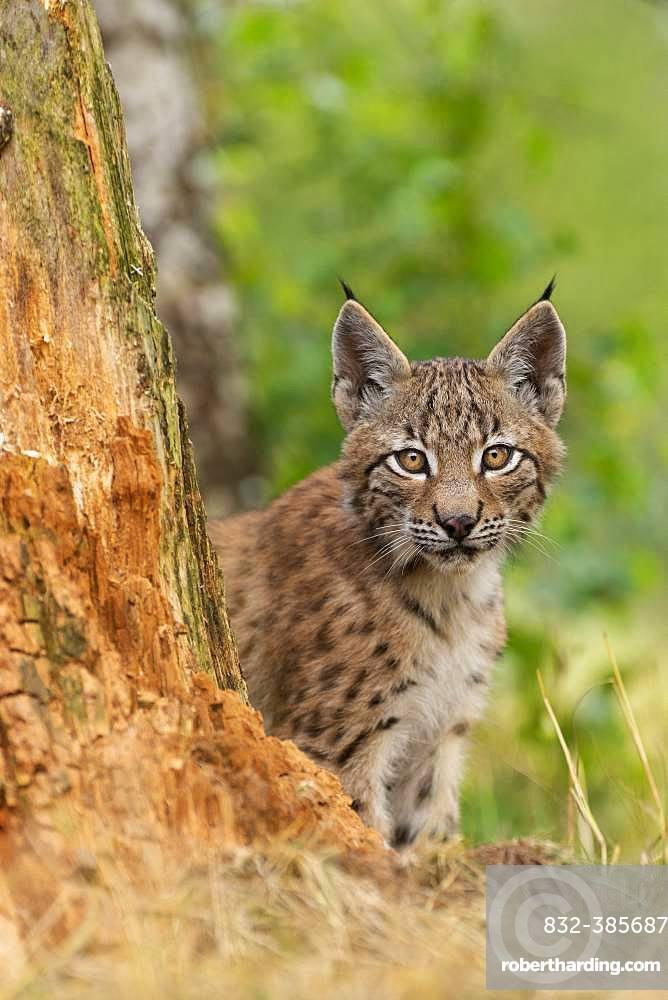 Lynx (Lynx lynx), young animal sitting behind tree trunk, Rhineland-Palatinate, Germany, Europe