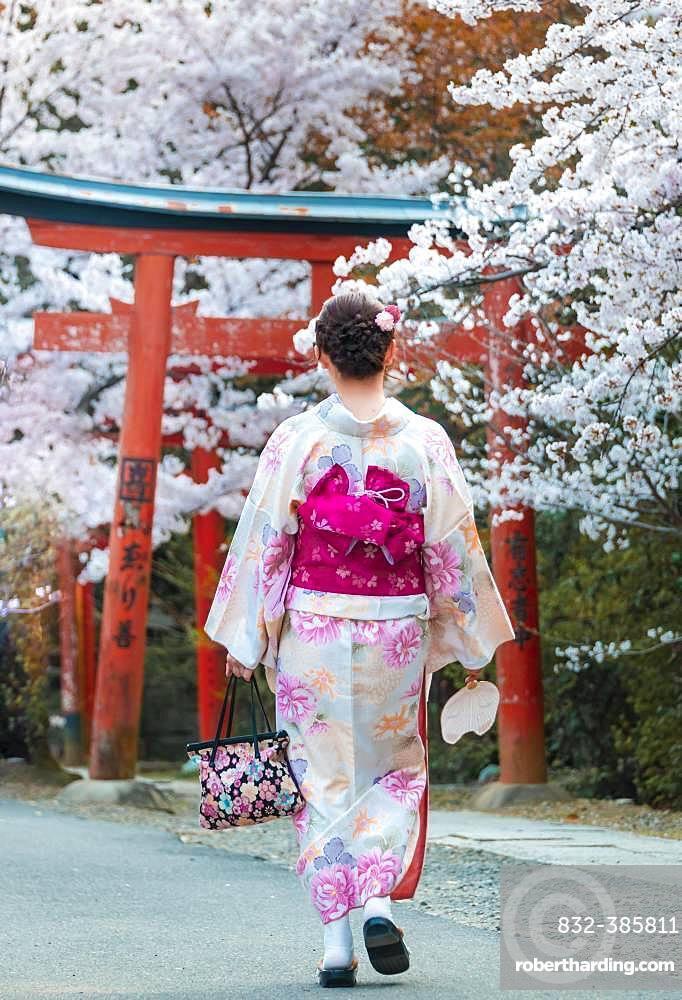 Japanese woman dressed with kimono under blossoming cherry trees, Torii gate at Takenaka-Inari-Jinja shrine, Kyoto, Japan, Asia