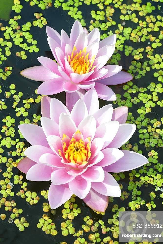 Rosa Water lilies (Nymphaea) between duckweeds, variety Pink Beauty, Baden-Wuerttemberg, Germany, Europe