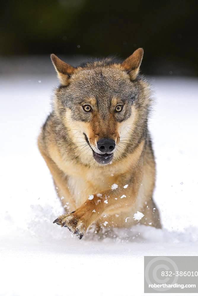 Gray wolf (Canis lupus), runs through deep snow, Sumava National Park, Bohemian Forest, Czech Republic, Europe