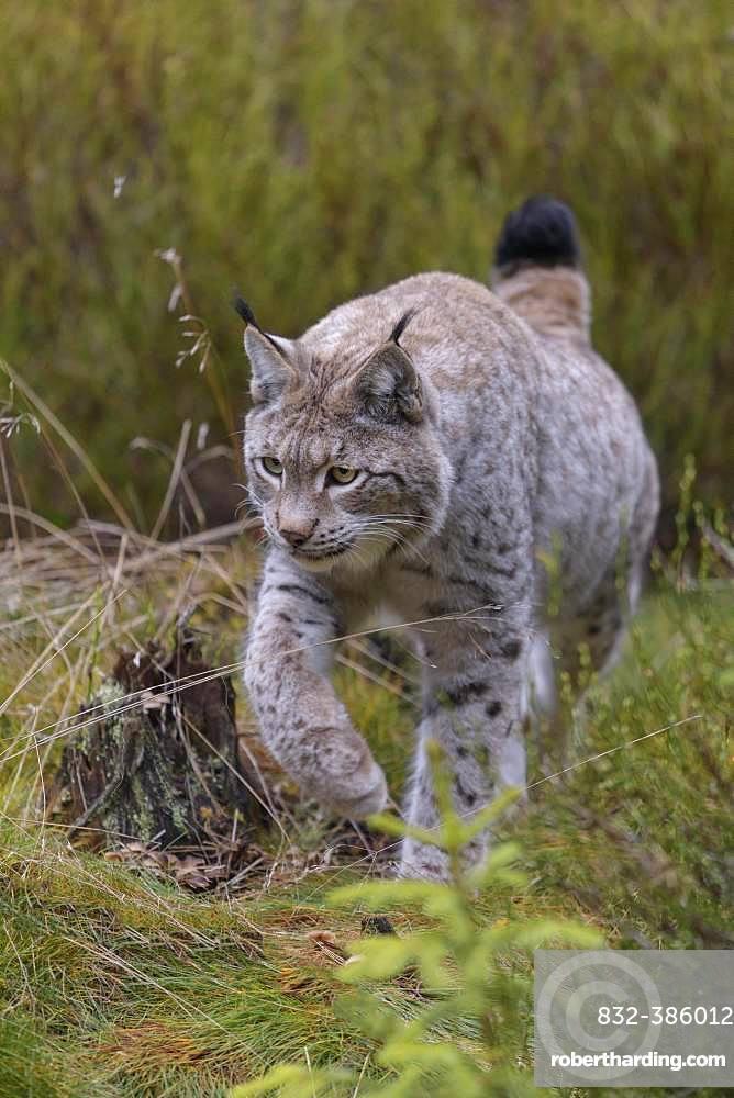 Eurasian lynx (Lynx lynx), running, Sumava National Park, Bohemian Forest, Czech Republic, Europe
