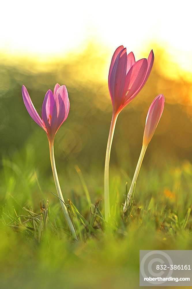 Meadow saffron (Colchicum autumnale) in the morning light, nature reserve Reussspitz, canton Zug, Switzerland, Europe
