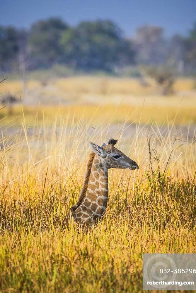 Angolan Giraffe (Giraffa camelopardalis angolensis), young animal lies hidden in high grass, Moremi Wildlife Reserve, Ngamiland, Botswana, Africa
